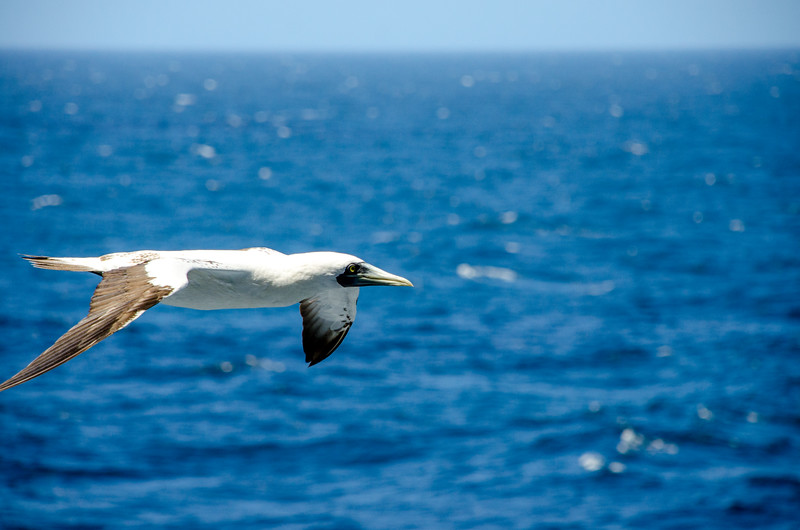 Masked Booby looking for flying fish