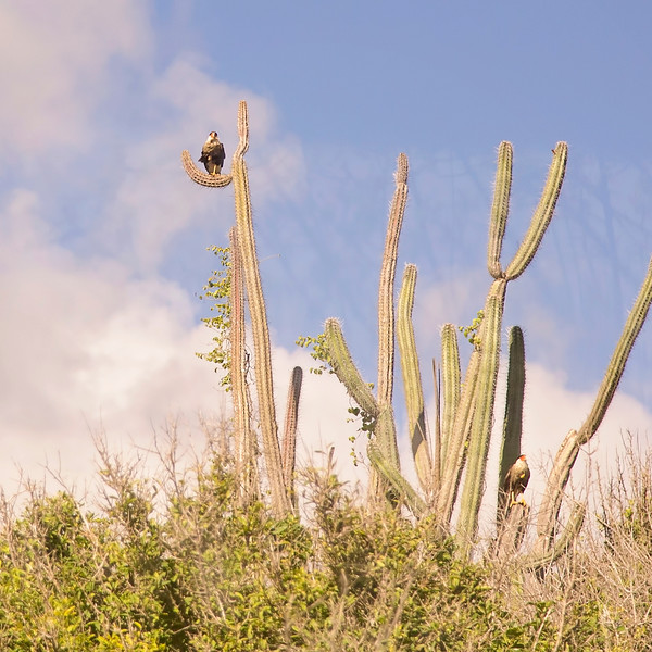 Wara Wara -- the largest raptor in the islands