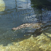 Crocodile at turtle farm