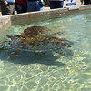 Turtle farm on Grand Cayman.