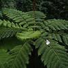 Monstrous fern trees
