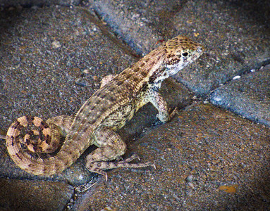 Curly Tail Lizard. Common in the Caribbean.