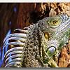 Rather large iguana on Grand Cayman