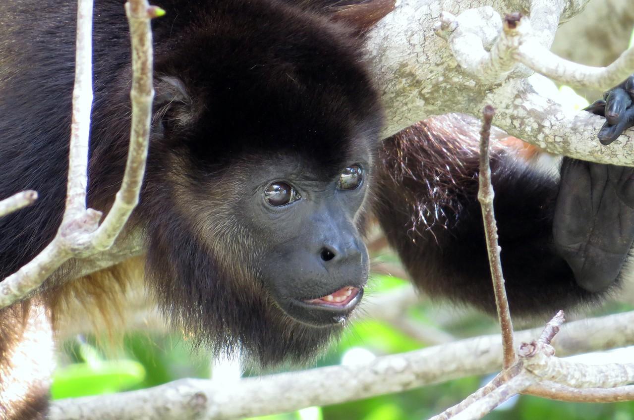 Howler Monkey. Maya Key. Roatan