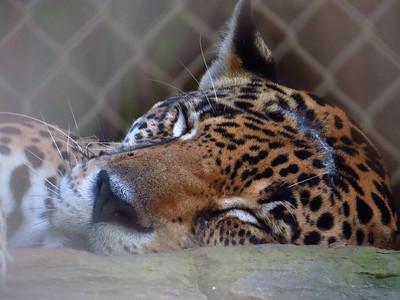 Jaguar (captive). Maya Key. Roatan, Honduras