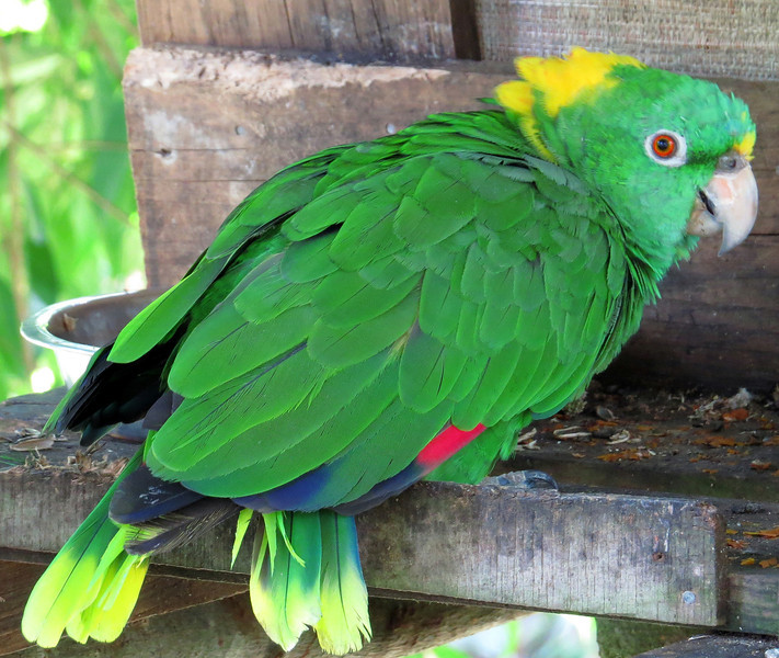 Yellow Naped Amazon Parrot