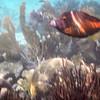file fish (?)