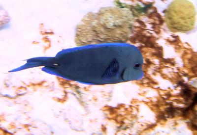 blue tang