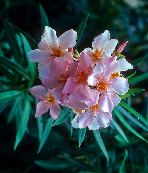 Oleander is so ubiquitous in warm climates that it's origin is obscure. <br /> <br /> Though lovely, it is also the most toxic common garden plant, but the story about a troop of boy scouts killed at a marshmallow/wienie roast by a fire or sticks of oleander is an urban legend with 19th century roots.