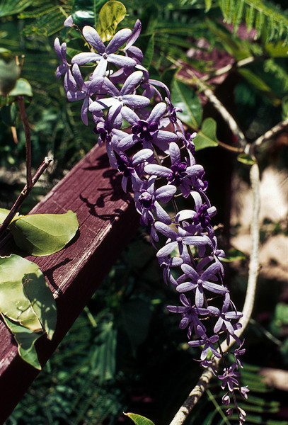 Like the Flamboyant, the wisteria is also a nitrogen-fixer and intoxicatingly honey-scented.