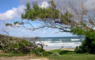 Wind bends the Australian pines on the East Atlantic coast - Barbados