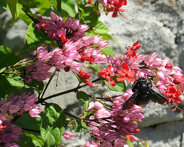 Big Bee Little Bee on Iles des Saintes