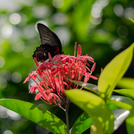 Ixora coccinea (also known as jungle geranium, flame of the woods or jungle flame
