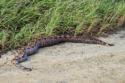 Dead boa constrictor