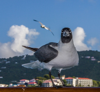 Laughing Gull, St. Thomas, 2006