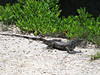 Iguana in the mangroves.