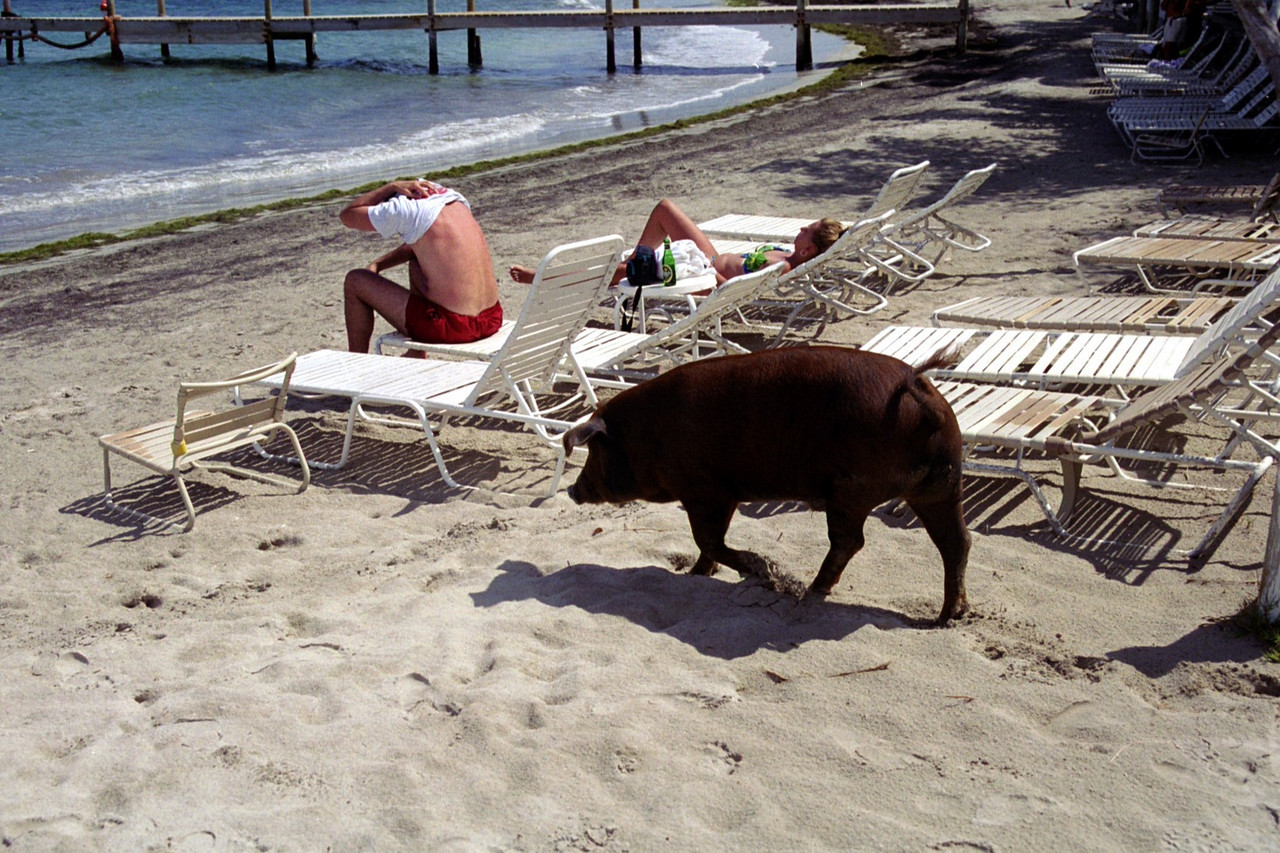 St. Kitts turtle Beach bar pig  - replaced by Kaiwah development
