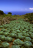 Cabbage of Saba