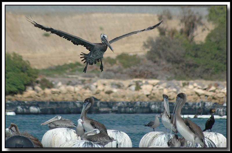 Pelicans in a Carlsbad, Ca. lagoon