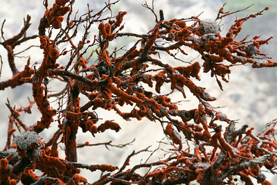 Rusted cypress branches.