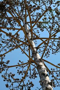 Sonoma cactus tree.