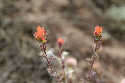 Closeup view of Point Lobos flowers - orange.
