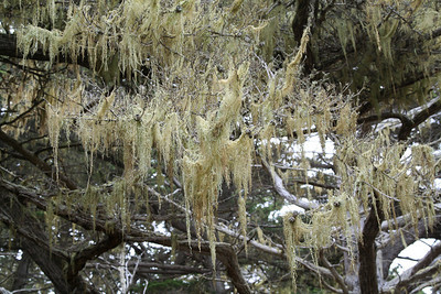 Spanish moss and the cypress tree.