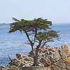 Monterey Cypress; Monterey Bay Coast - Pebble Beach; May 2008