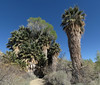 At Cottonwood Springs, in the southern part of Joshua Tree