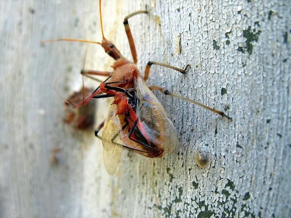 Assassin bug.