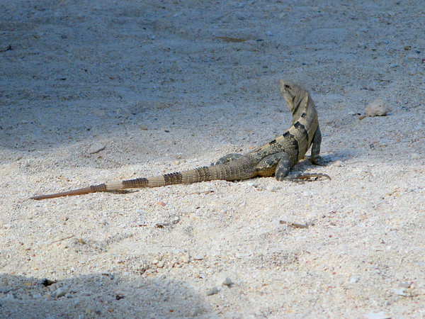 Our new friend we encountered on the beach in Costa Maya, Mexico.