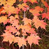 red orange maple leaves on our hike<br /> Auger Hole Rd.. which is open to rangers and hunters, but hikers have to walk.<br /> Gorges State Park NC