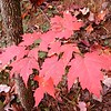 Brilliant red leaves on our hike<br /> Gorges SP NC<br /> Auger Hole Rd