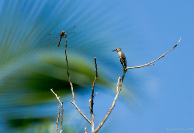 Cuban Bee Hummingbird and Dragonfly.  The bird is about the size of a thumb.