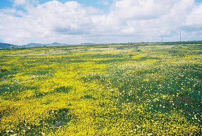 3/20/05 Tidy Tips & Goldfields. Soda Lake Rd @ Del Rosa Rd, Carrizo Plain, San Luis Obispo County, CA