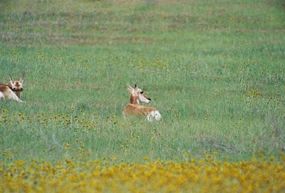 3/20/05 Pronghorn Antelope. North side of Hwy 58 between 7 Mile Road and Soda Lake Road.