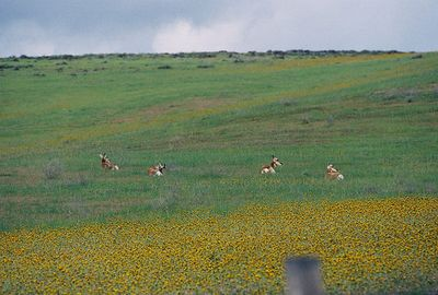 3/20/05 Pronghorn Antelope. 1 male, 3 females, north side of Hwy 58 between 7 Mile Road and Soda Lake Road.
