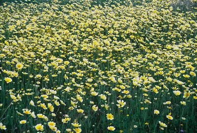 3/20/05 Tidy Tips (Layia platyglossa). Soda Lake Rd @ Del Rosa Rd, Carrizo Plain, San Luis Obispo County, CA