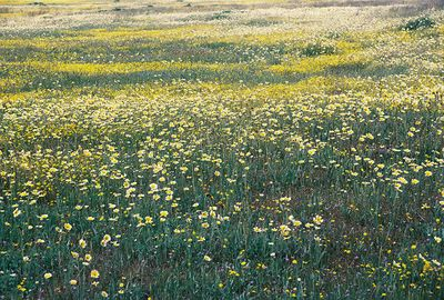 3/20/05 Tidy Tips & Goldfields. Soda Lake Rd @ Del Rosa Rd, Carrizo Plain, San Luis Obispo County, CA