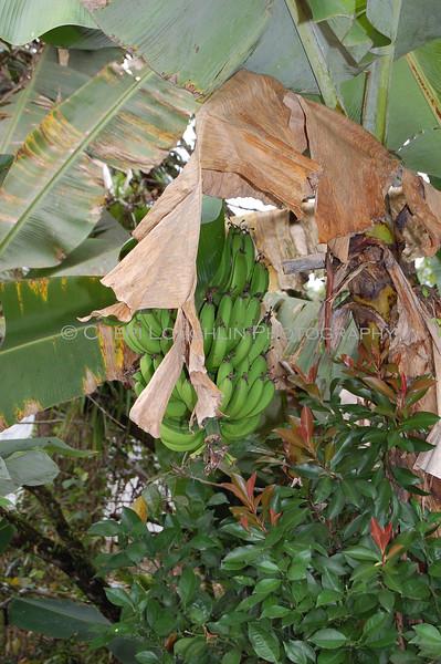 Bananas - Pork Trail