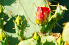 Prickly Pear red flower ruins 5471