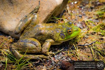 Lake Siskiyou Frog