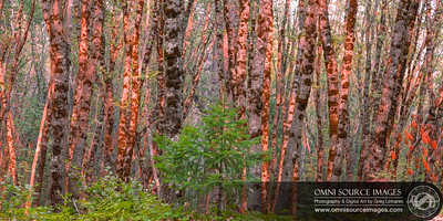 Sunlit Grove Shasta Trinity National Forest