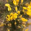 Estas flores se ven por todos lados. Son las que estan en la cancha de golf en St Andrews tambien.