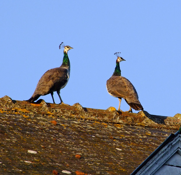 Two peacocks on a roof - being called by the village pastry shop baker.