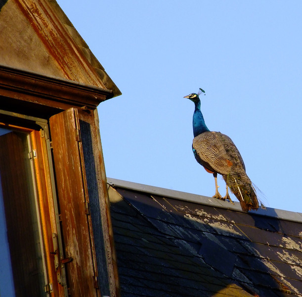 A peacock on a roof in the village.