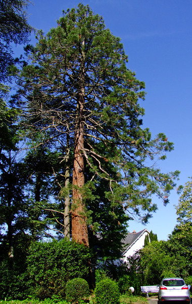 A sequoia tree planted over a centry ago at our B&B.  Sequoias are not native to France but rather California.