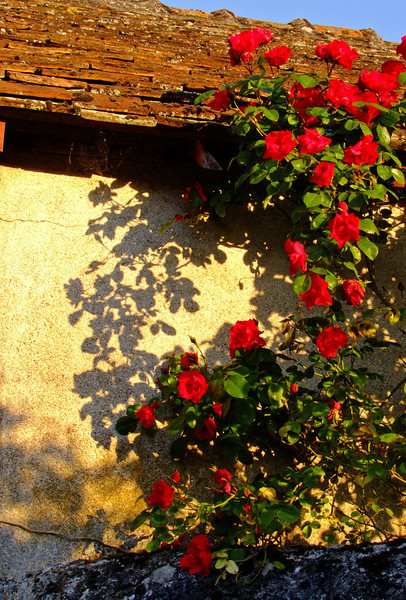 Roses along an ancient walkway along the Loire River.