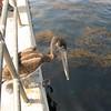 Brown pelican looking down at the fish below.