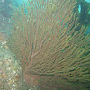 Soft coral fan.